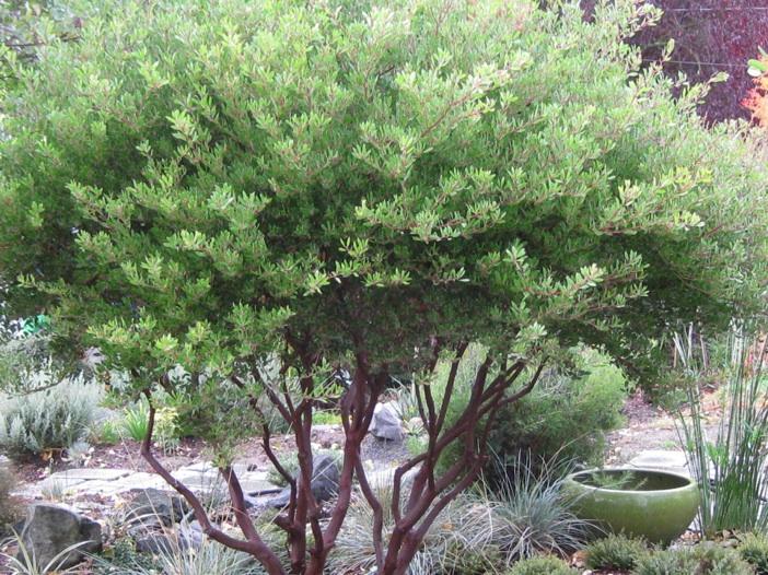 Arctostaphylos x densiflora 'Howard McMinn'