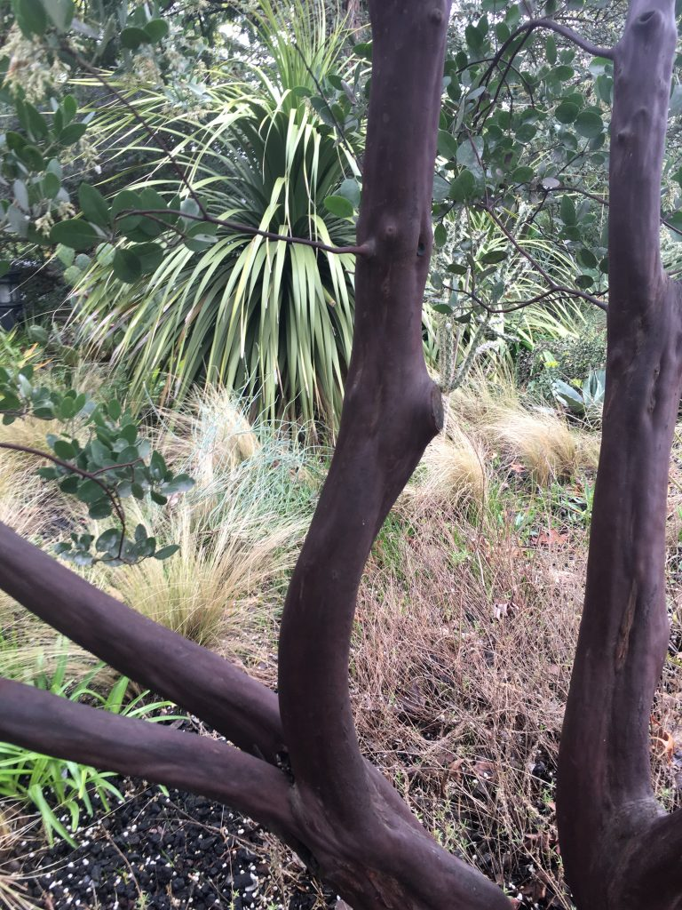 Arctostaphylos manzanita 'St. Helena' bark