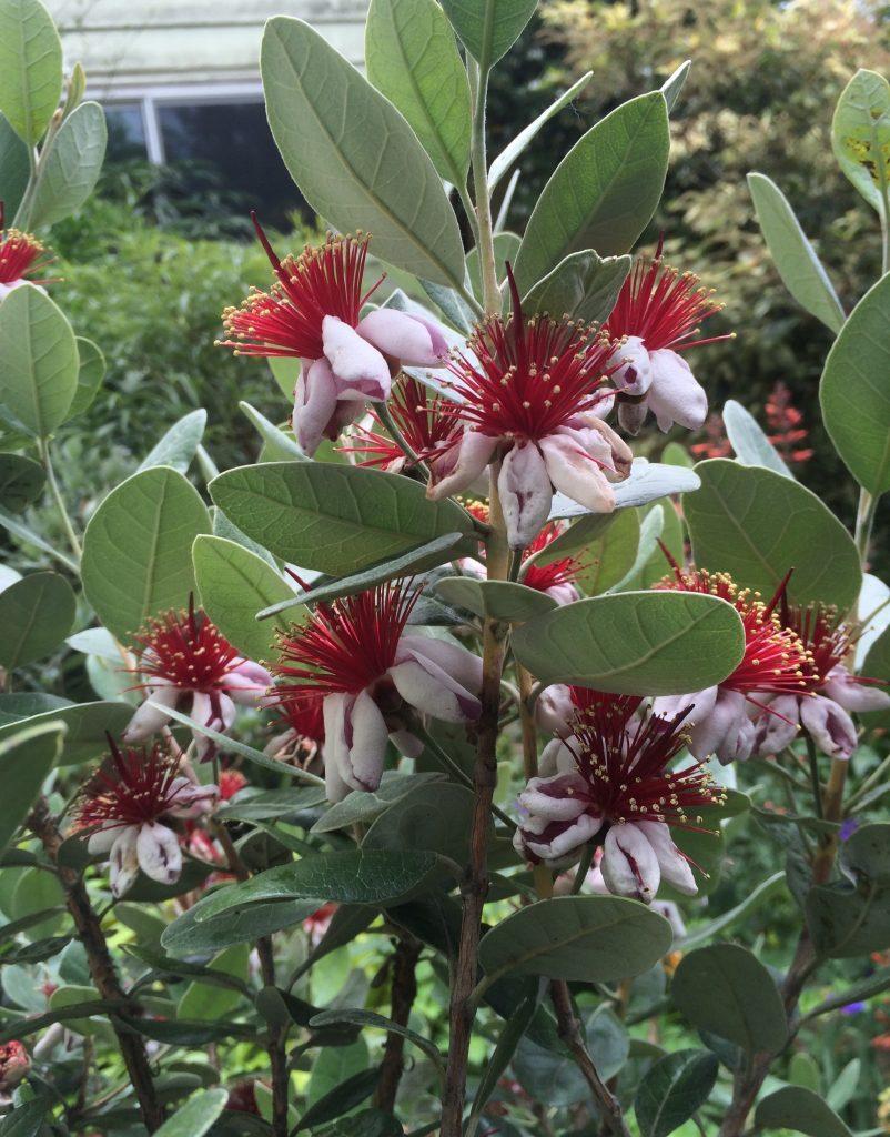Feijoa Acca Sellowiana Xera Plants