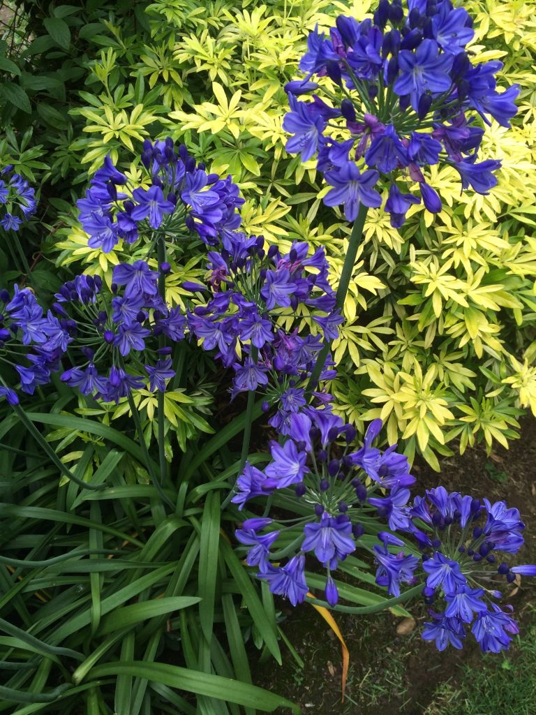 Agapanthus x 'Summer Nights'