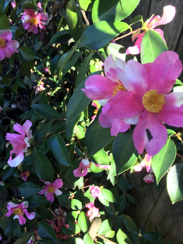 Camellia x Yume'
