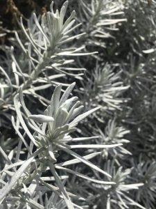 Helichrysum thianshanicum