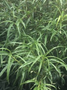 Pittosporum illicioides var. angustifolia