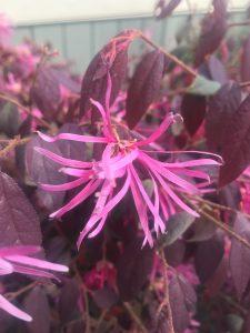 Loropetalum chinense var rubrum 'Zhuzhuo Fuchsia'