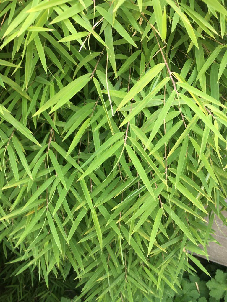Boorinda angustissima