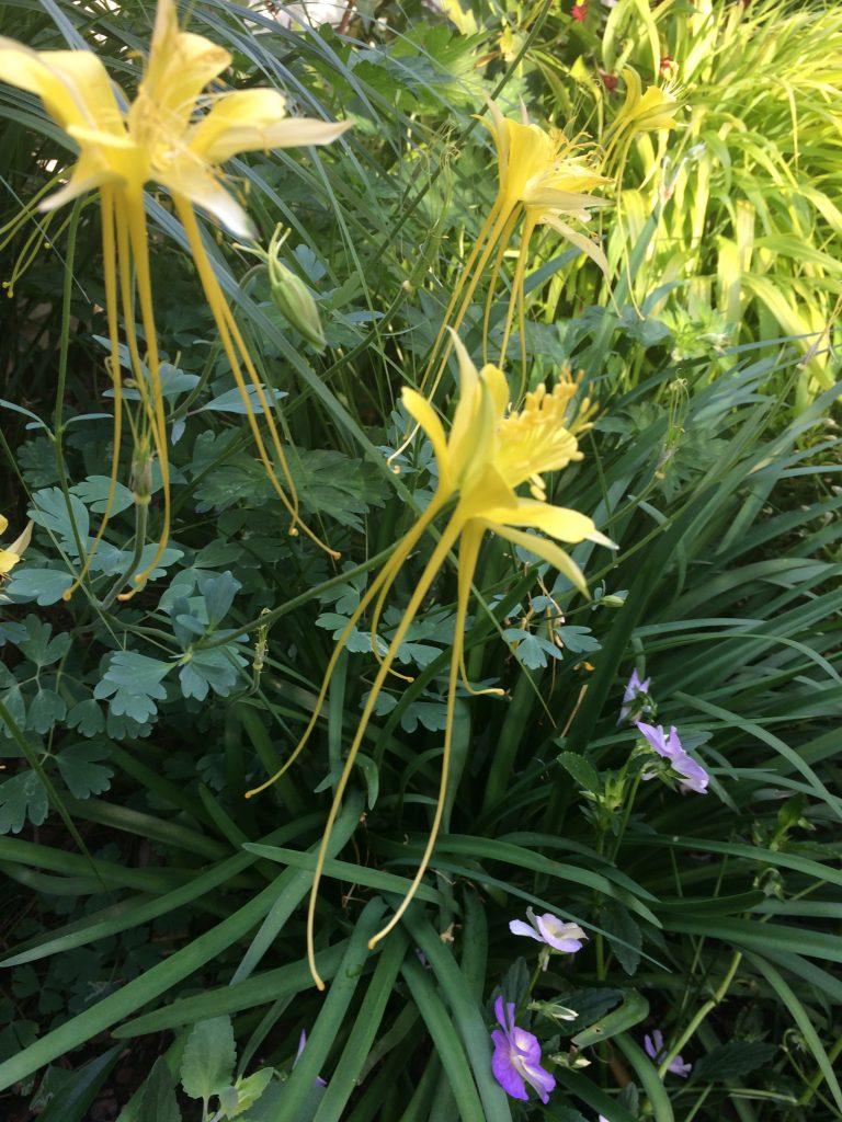 Aquilegia longissima Xera Plants