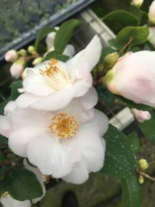 Camellia x lutchuensis 'Spring Mist'