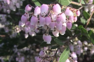 Arctostaphylos x densiflora 'Howard McMinn' flowers