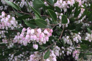 Arctostaphylos x densiflora 'Sentinel' flowers