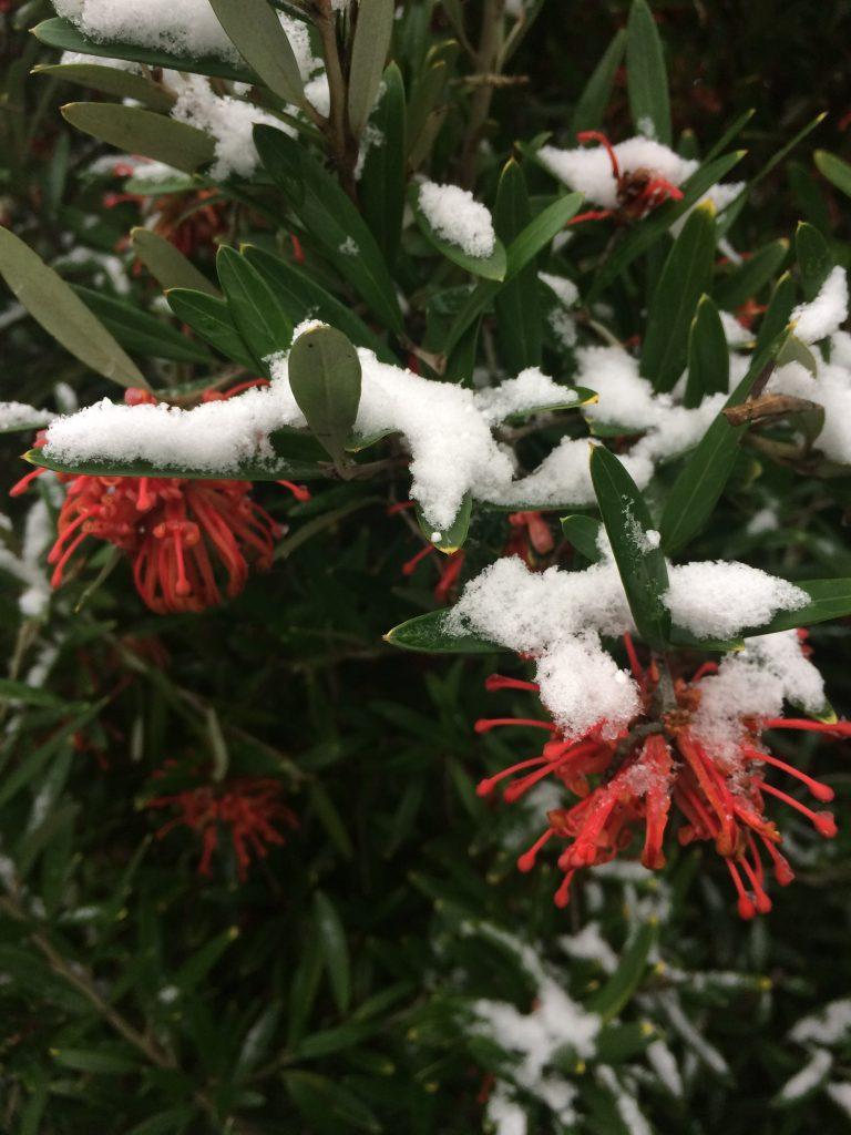 Grevillea x 'Neil Bell' flowering in winter through snow