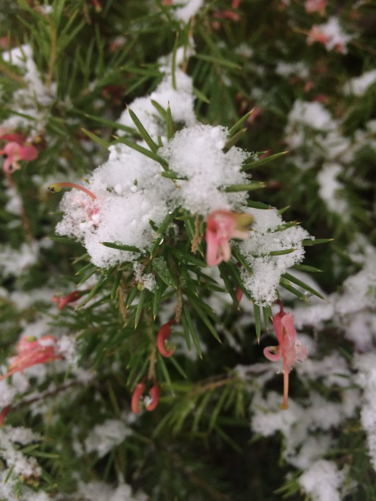 Grevillea juniperina 'Pink Lady' flowering through snow
