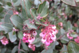 Arctostaphylos x 'John Dourley' flowers and foliage