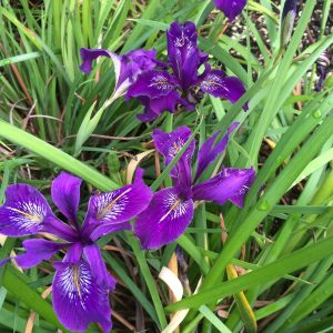 Iris x pacifica 'Violetta'
