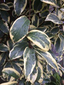 Kadsura japonica 'Fukurin'