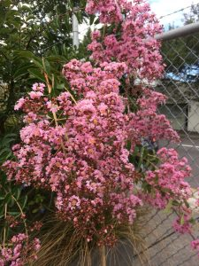 Lagerstroemia x fauriei 'Osage'