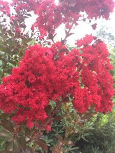 Lagerstroemia indica 'Dynamite'®