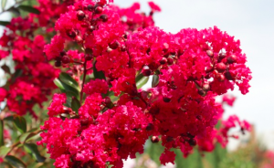 Lagerstroemia indica 'PDX Red'