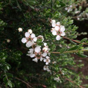 Leptospermum lanigerum