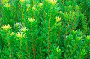 Myrica (Morella) californica