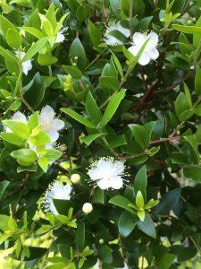 Myrtus communis 'Andy's Hardy'