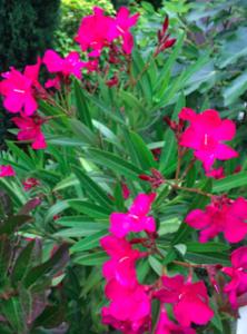 Nerium oleander 'Hardy Red'