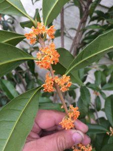 Osmanthus  fragrans var. aurantiacus
