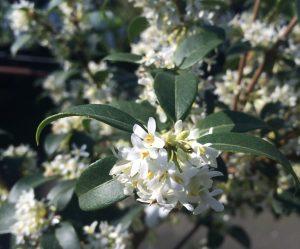 Osmanthus x burkwoodii