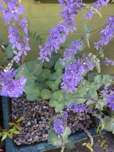 Parahebe perfoliata (Derwentia perfoliata)