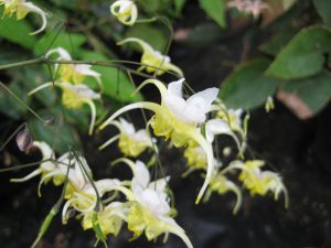 Epimedium x 'Peter Rabbit'