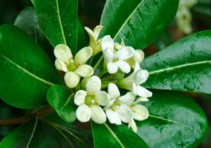 Pittosporum tobira 'Green Compact'