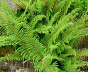 Polystichum setiferum var. divisilobum
