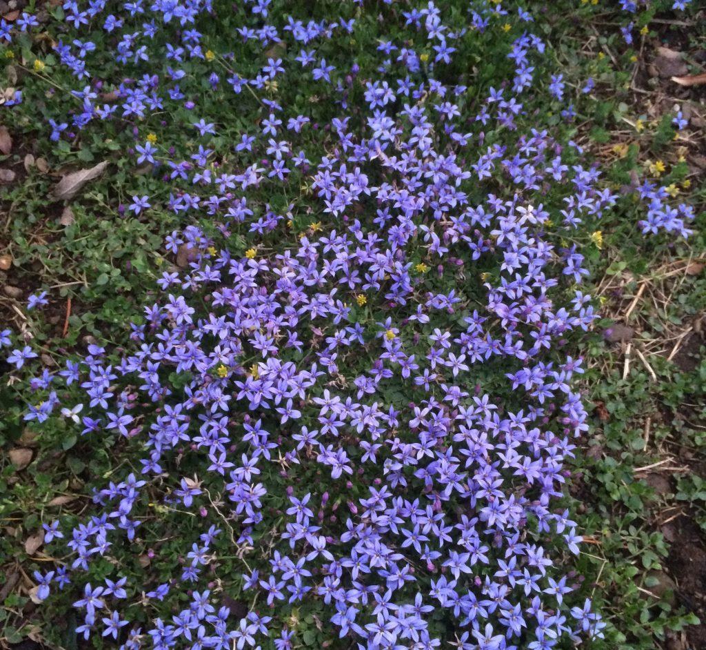 Pratia Lobelia Pedunculata County Park Xera Plants