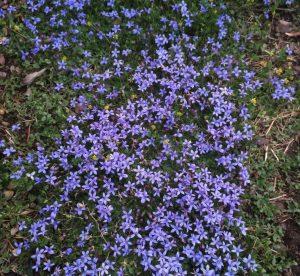 Pratia (Lobelia) pedunculata 'County Park'