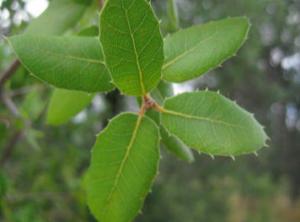 Quercus wislezenii 'Dense Form'