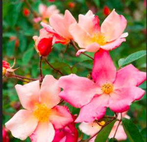 Rosa x odorata 'Mutabilis'