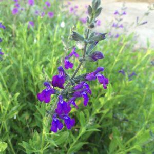 Salvia cohuilensis 'Nuevo Leon'