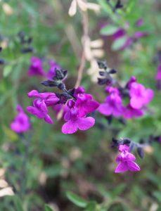 Salvia muelleri