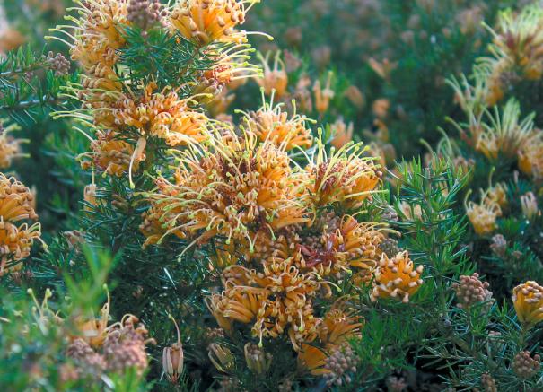 abundant flowers of Grevillea juniperina 'Molonglo'