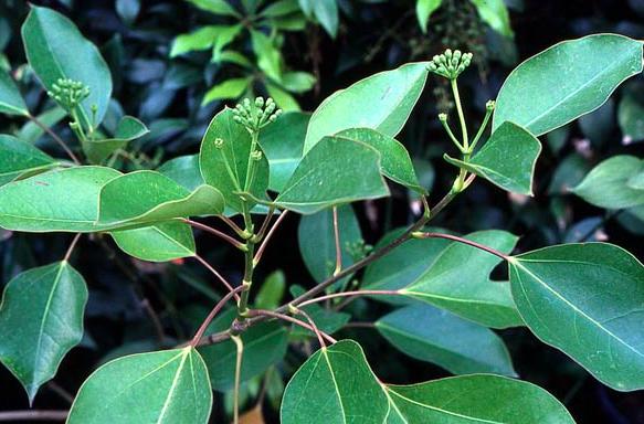 Dendropanax trifidus