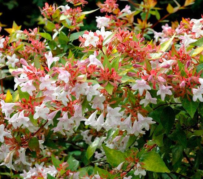 Abelia X Grandiflora Francis Mason Xera Plants