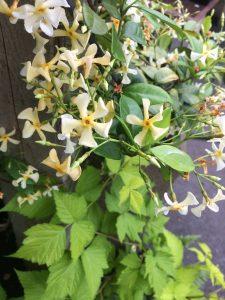 Trachelospermum mandianum