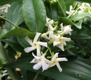Trachelospermum jasminoides 'Madison'
