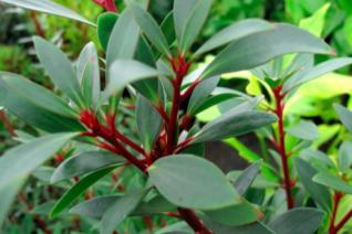 Drimys lanceolata (Tasmannia lanceolata)