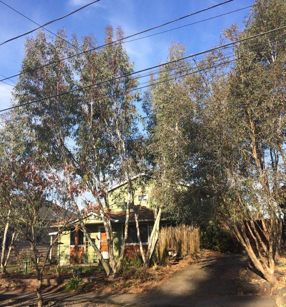 Eucalyptus pauciflora ssp. niphophila
