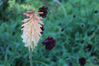 kniphofia x 'Saffronvogel' xera plants