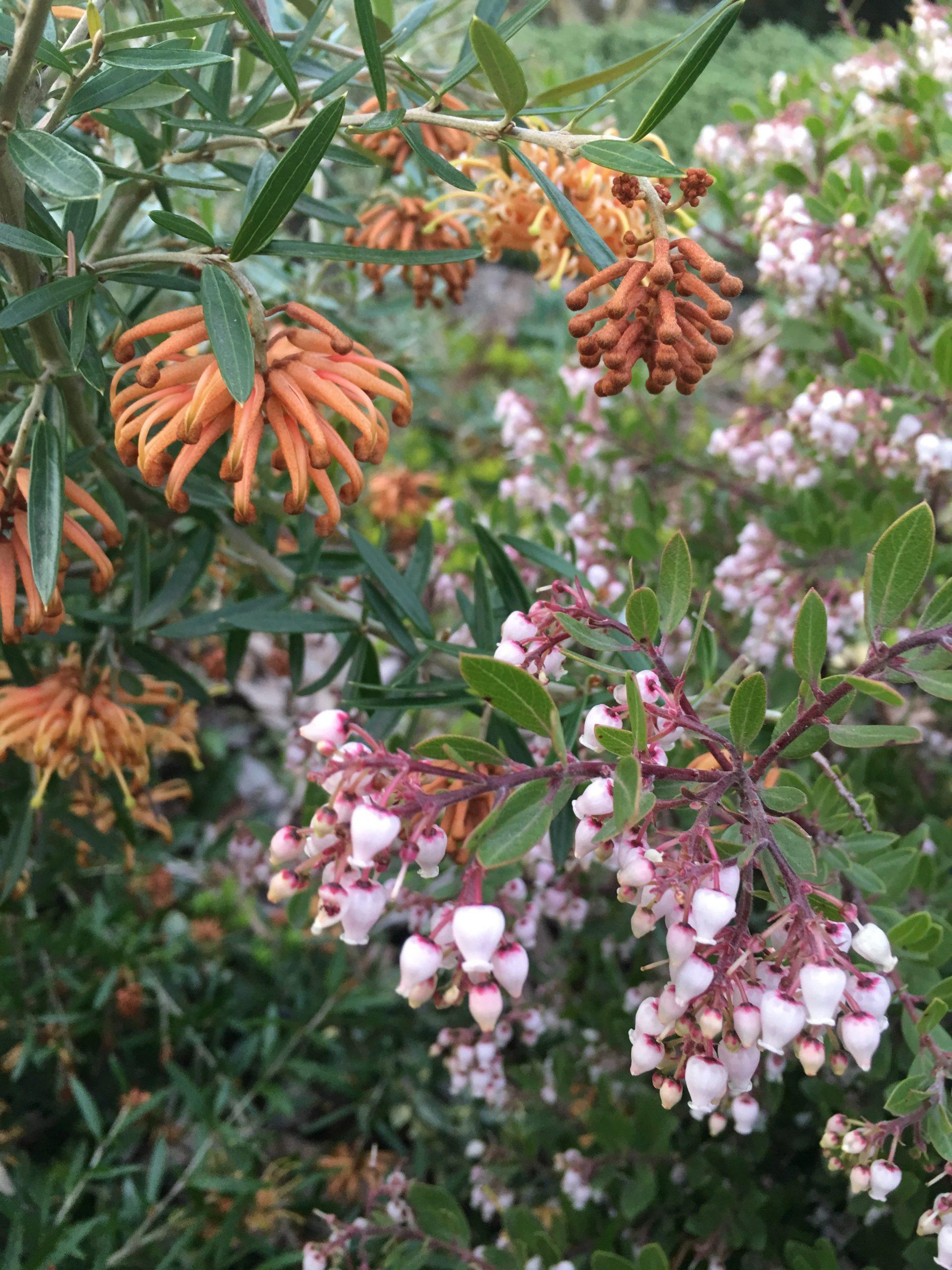 flower close up of Arctostaphylos x hookeri 'White Lanterns'