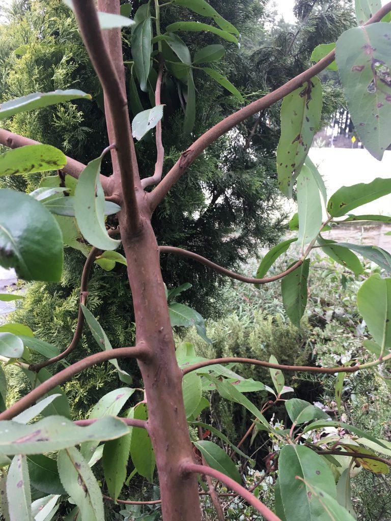 Arbutus menziesii seedling 10 years old