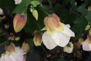 Abutilon x 'Searchlight'