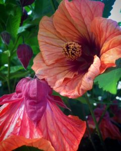 Abutilon x 'Smoked Salmon'