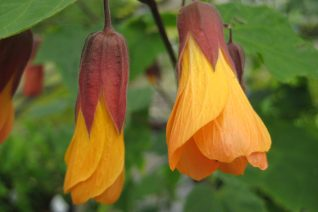 Abutilon x 'Tangerine Scream'